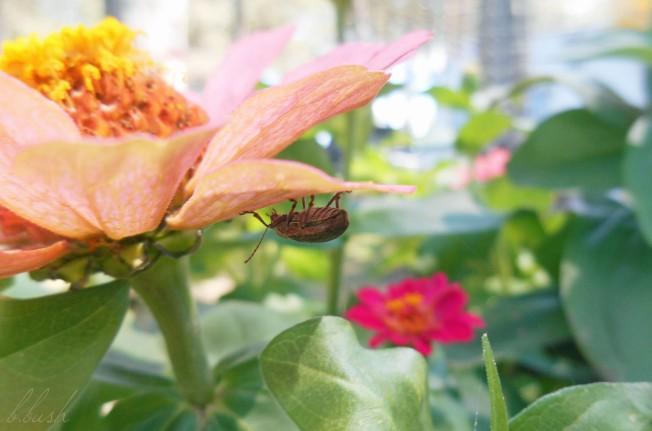 bug and zinnia w